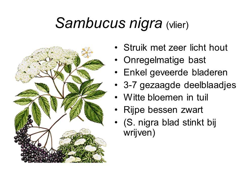 Sambucus nigra (vlier)