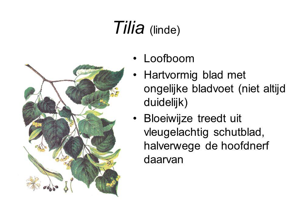 Tilia (linde) Loofboom