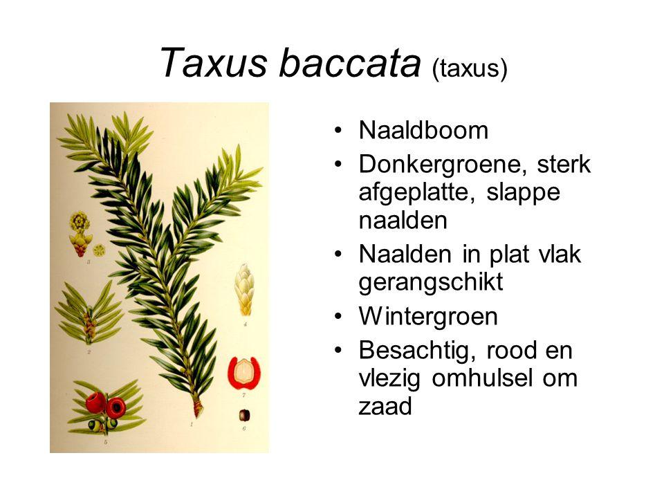 Taxus baccata (taxus) Naaldboom