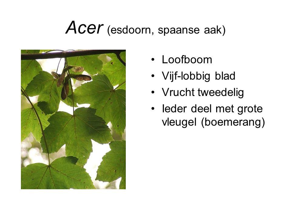 Acer (esdoorn, spaanse aak)