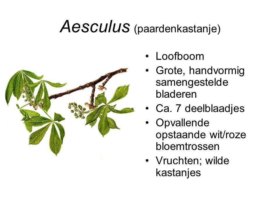 Aesculus (paardenkastanje)