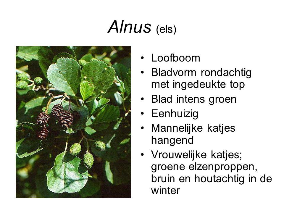 Alnus (els) Loofboom Bladvorm rondachtig met ingedeukte top