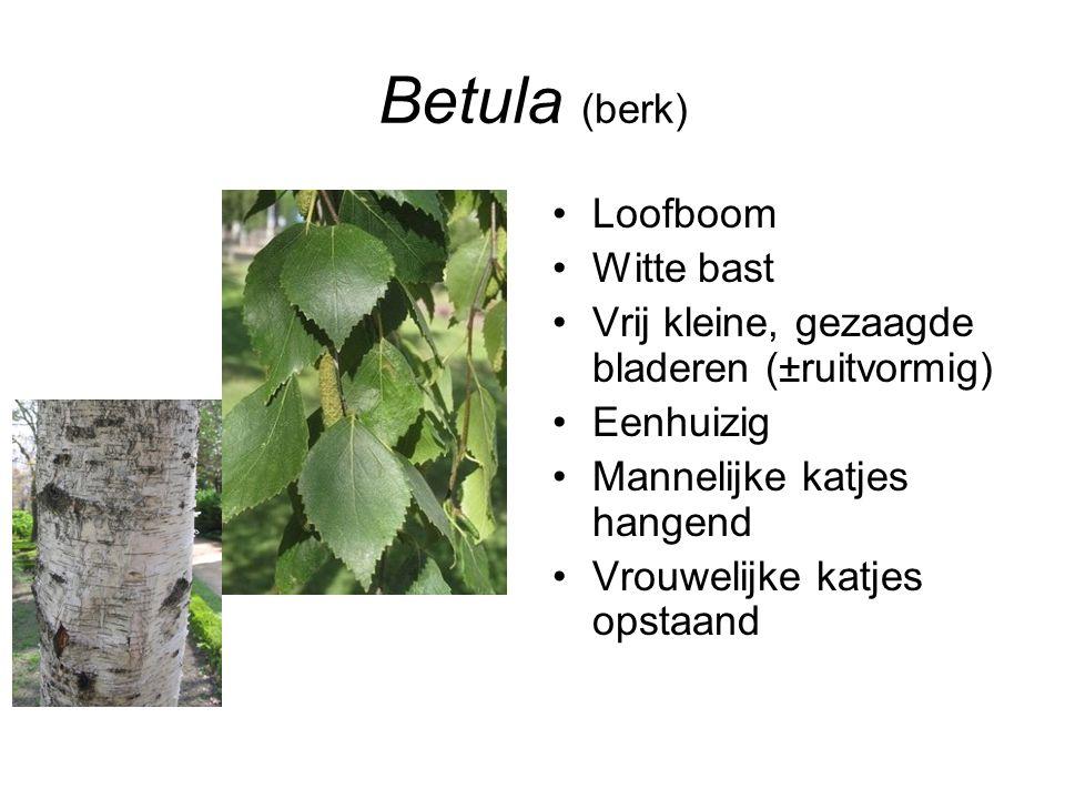 Betula (berk) Loofboom Witte bast