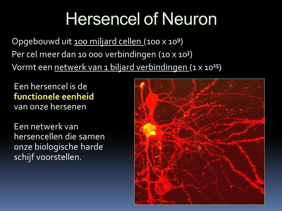 Hersencel of Neuron Opgebouwd uit 100 miljard cellen (100 x 109)