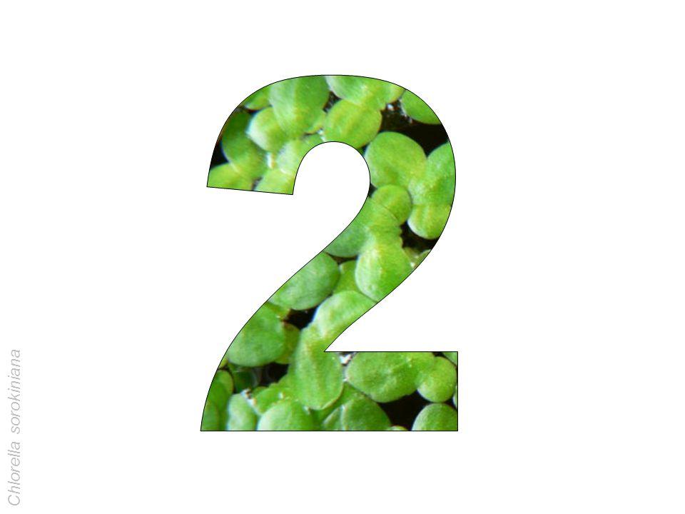 2 Chlorella sorokiniana
