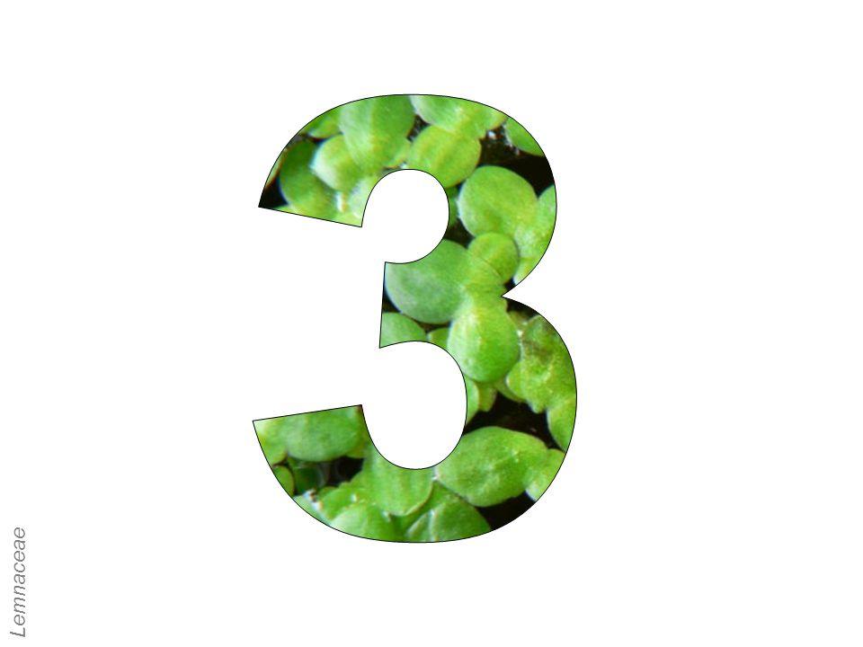 3 Lemnaceae