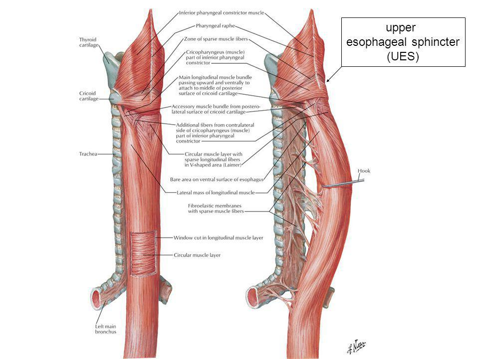 upper esophageal sphincter (UES)