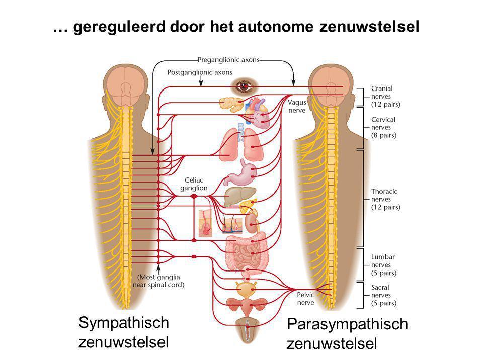 … gereguleerd door het autonome zenuwstelsel