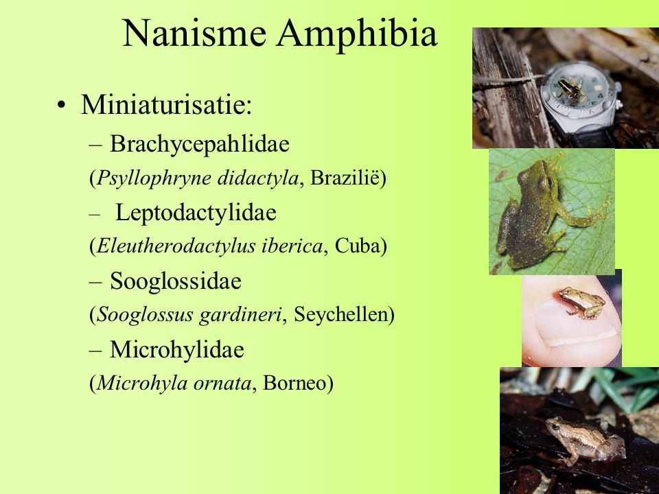 Nanisme Amphibia Miniaturisatie: Brachycepahlidae Sooglossidae