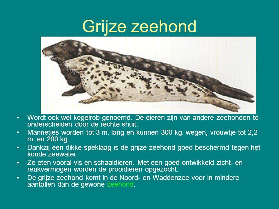 Grijze zeehond Wordt ook wel kegelrob genoemd. De dieren zijn van andere zeehonden te onderscheiden door de rechte snuit.