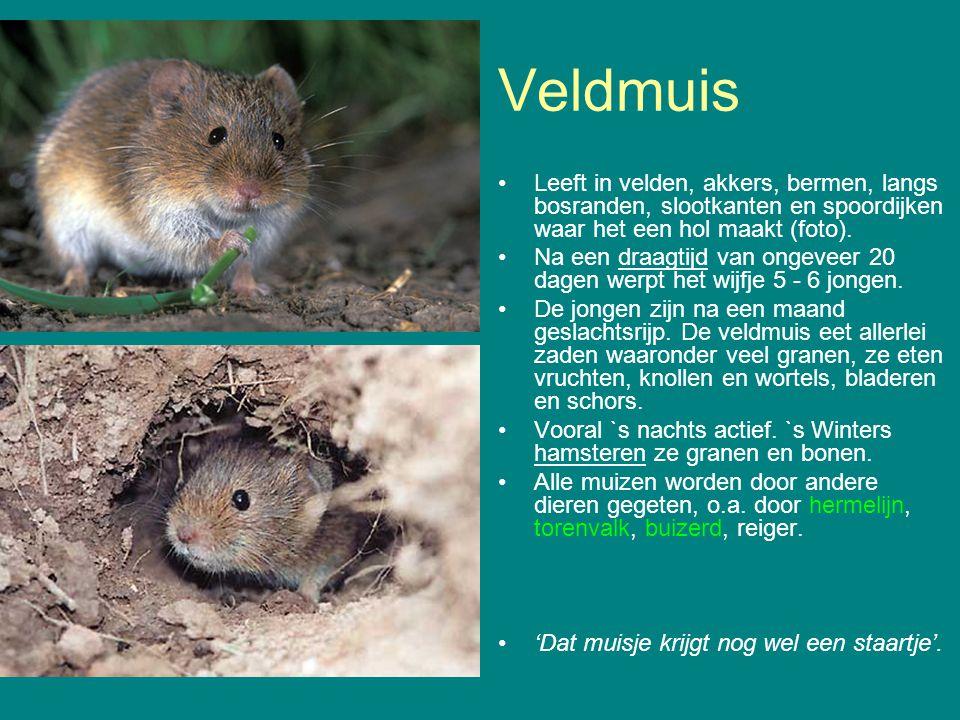 Veldmuis Leeft in velden, akkers, bermen, langs bosranden, slootkanten en spoordijken waar het een hol maakt (foto).