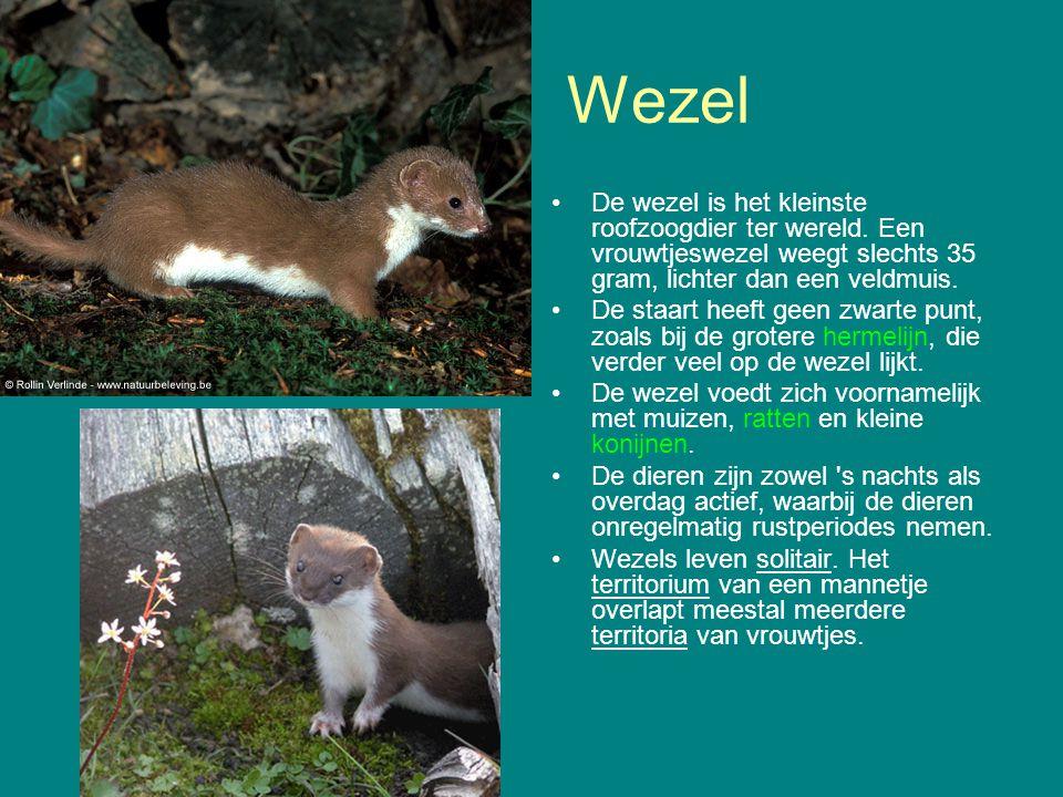 Wezel De wezel is het kleinste roofzoogdier ter wereld. Een vrouwtjeswezel weegt slechts 35 gram, lichter dan een veldmuis.