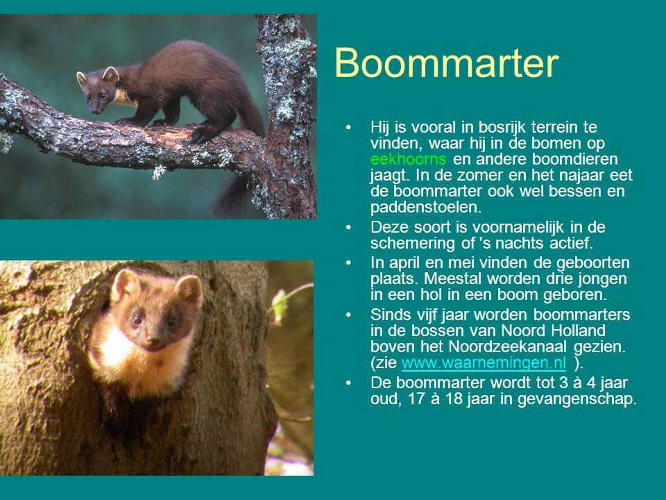 Boommarter