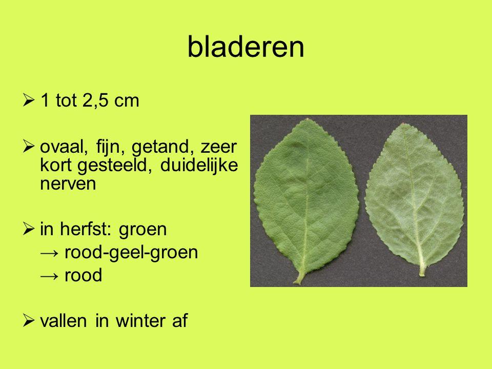 bladeren 1 tot 2,5 cm. ovaal, fijn, getand, zeer kort gesteeld, duidelijke nerven. in herfst: groen.