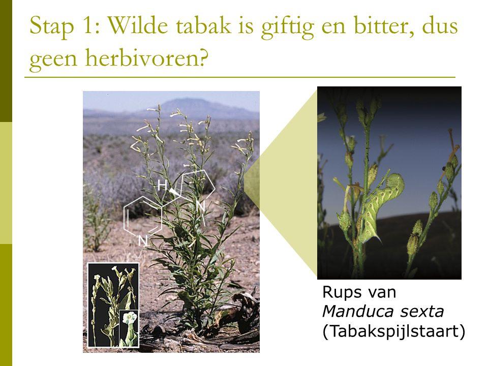 Stap 1: Wilde tabak is giftig en bitter, dus geen herbivoren
