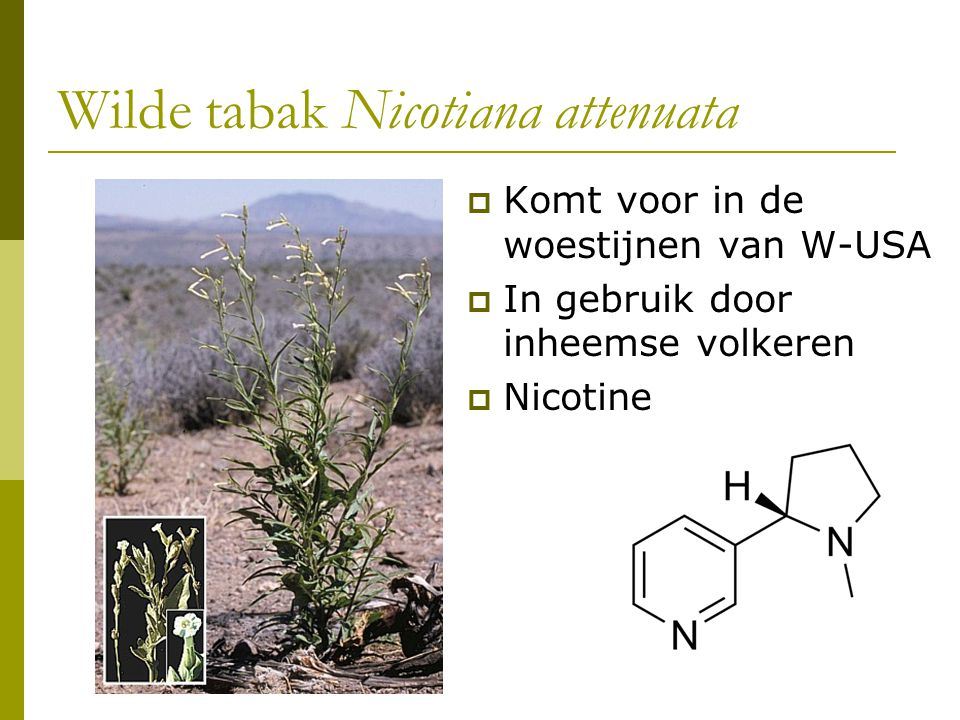 Wilde tabak Nicotiana attenuata