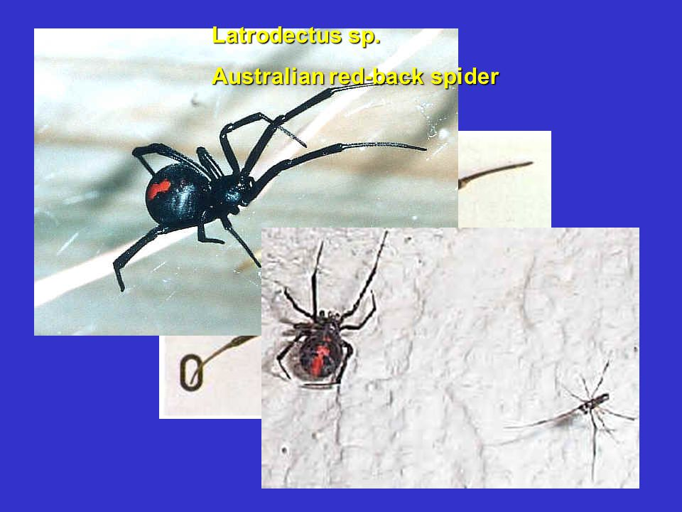Latrodectus sp. Australian red-back spider