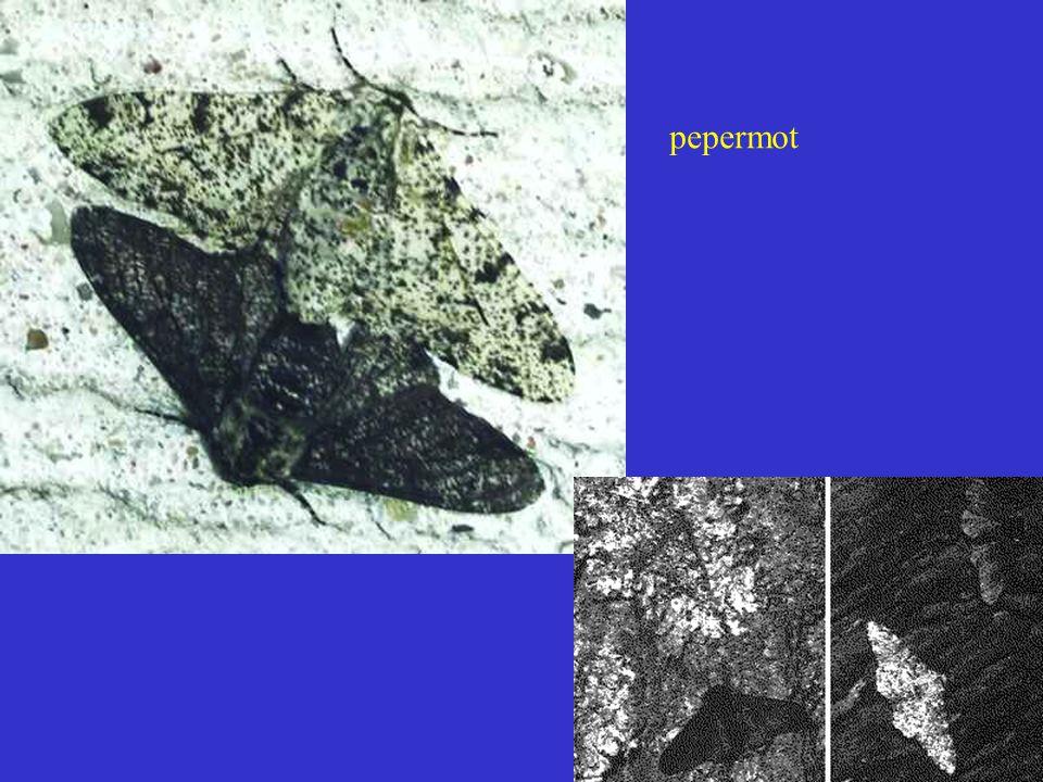 pepermot