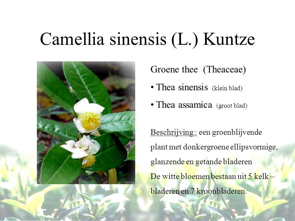 Camellia sinensis (L.) Kuntze