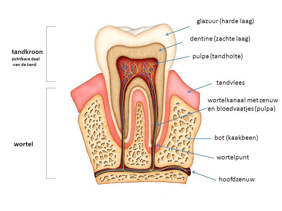 wortelkanaal met zenuw en bloedvaatjes (pulpa)