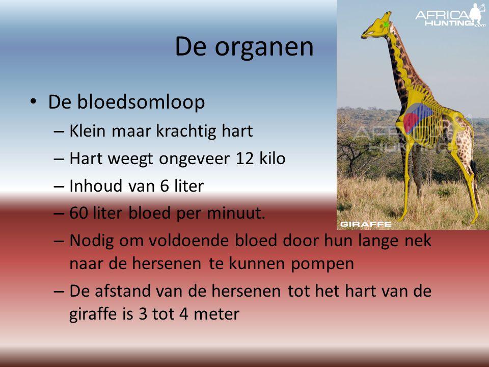 De organen De bloedsomloop Klein maar krachtig hart