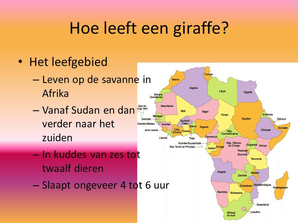 Hoe leeft een giraffe Het leefgebied Leven op de savanne in Afrika