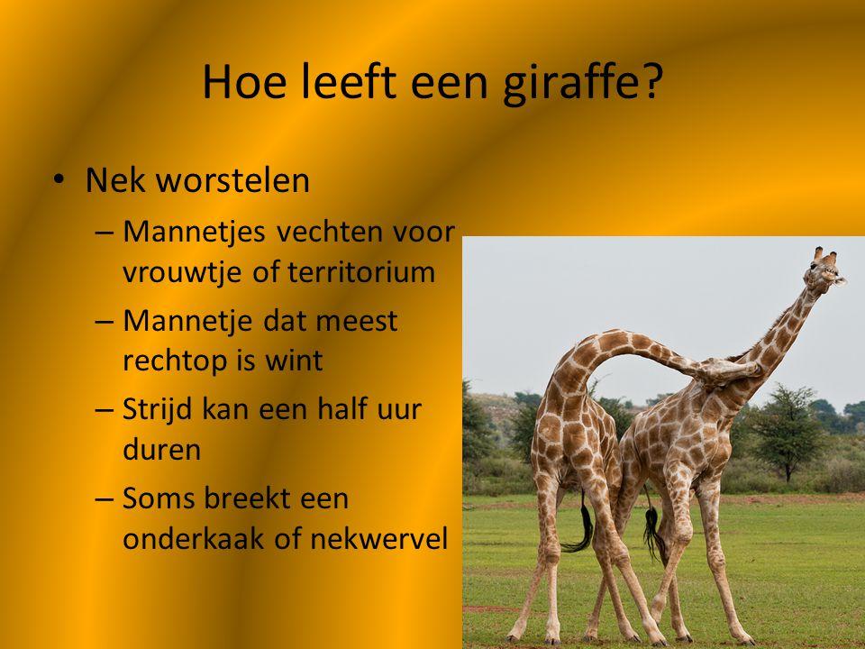 Hoe leeft een giraffe Nek worstelen