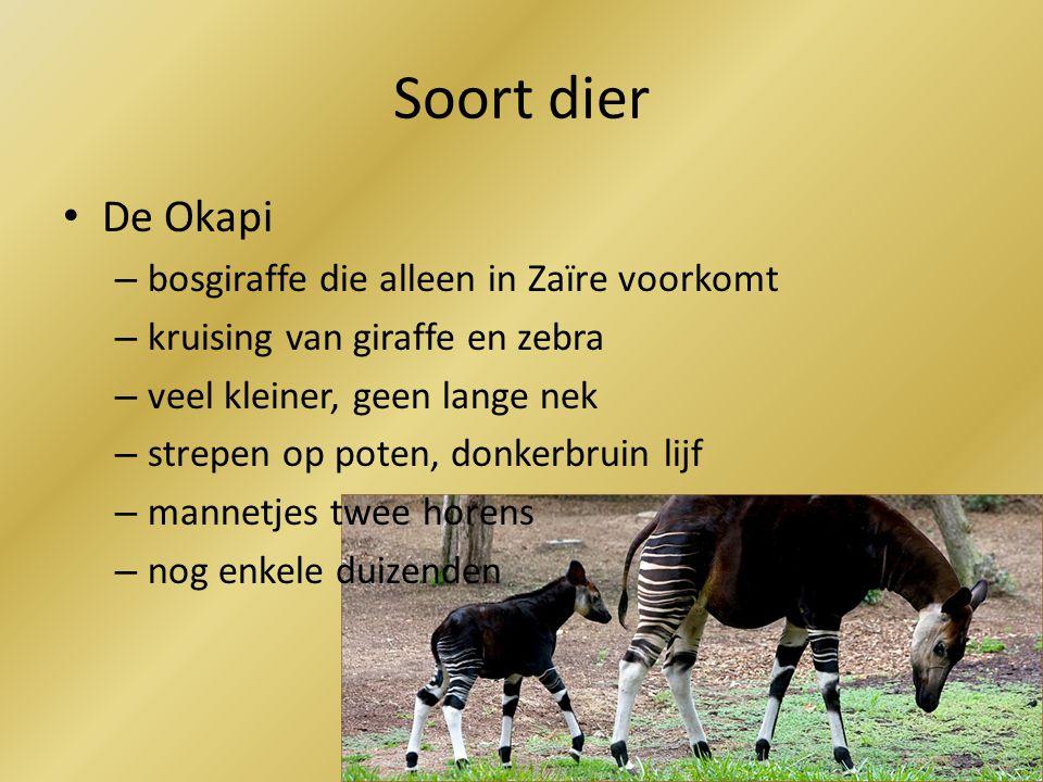 Soort dier De Okapi bosgiraffe die alleen in Zaïre voorkomt