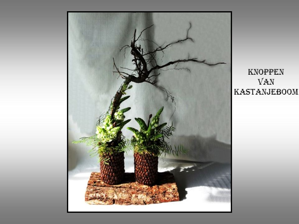 Knoppen van kastanjeboom