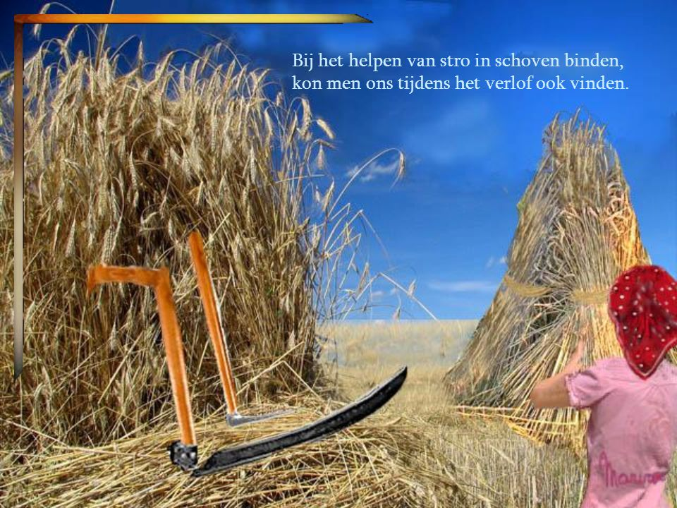 Bij het helpen van stro in schoven binden,