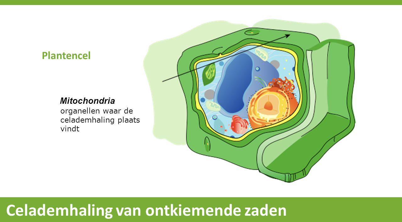 Plantencel Mitochondria organellen waar de celademhaling plaats vindt