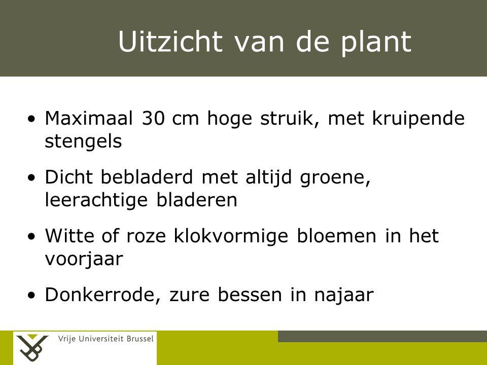 Uitzicht van de plant Maximaal 30 cm hoge struik, met kruipende stengels. Dicht bebladerd met altijd groene, leerachtige bladeren.