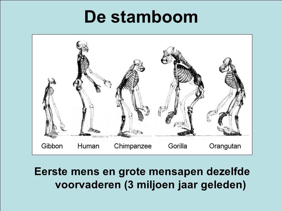 De stamboom Eerste mens en grote mensapen dezelfde voorvaderen (3 miljoen jaar geleden)