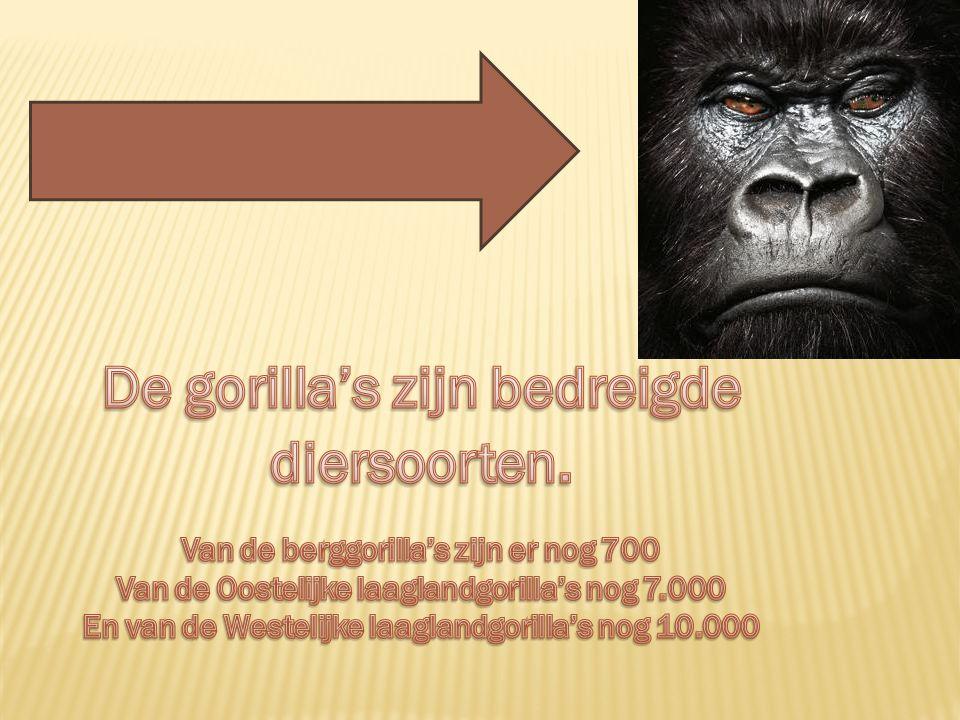 De gorilla's zijn bedreigde diersoorten.