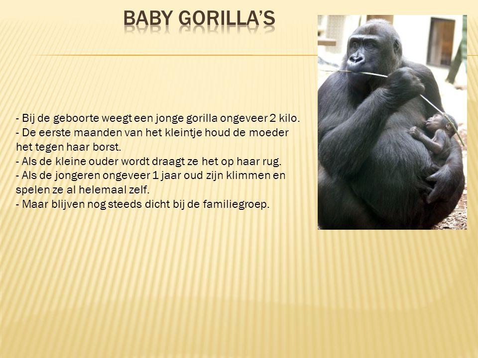 Baby gorilla's - Bij de geboorte weegt een jonge gorilla ongeveer 2 kilo. - De eerste maanden van het kleintje houd de moeder het tegen haar borst.