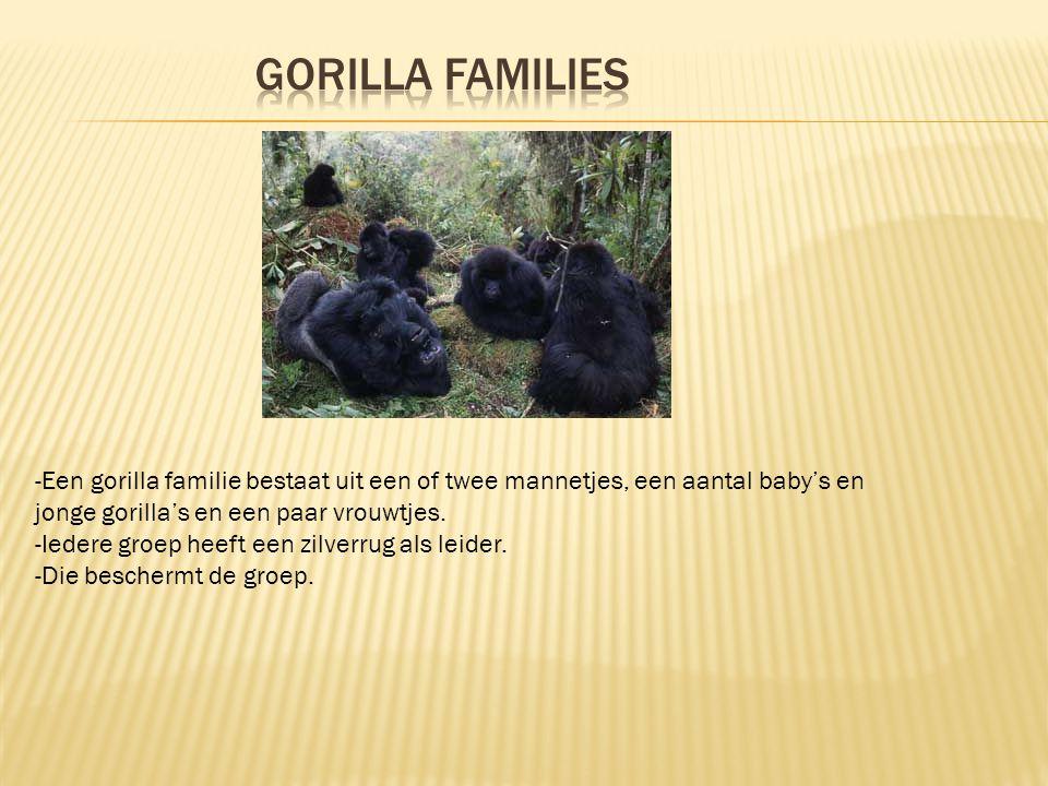 Gorilla families -Een gorilla familie bestaat uit een of twee mannetjes, een aantal baby's en jonge gorilla's en een paar vrouwtjes.