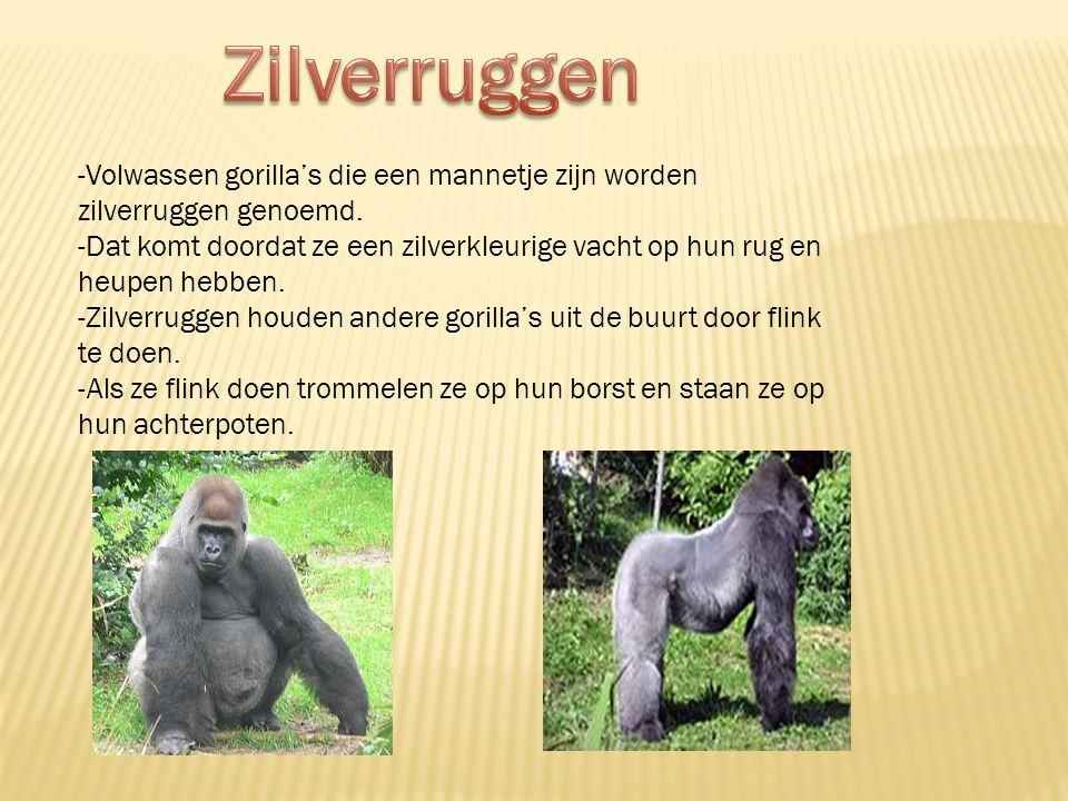 Zilverruggen -Volwassen gorilla's die een mannetje zijn worden zilverruggen genoemd.