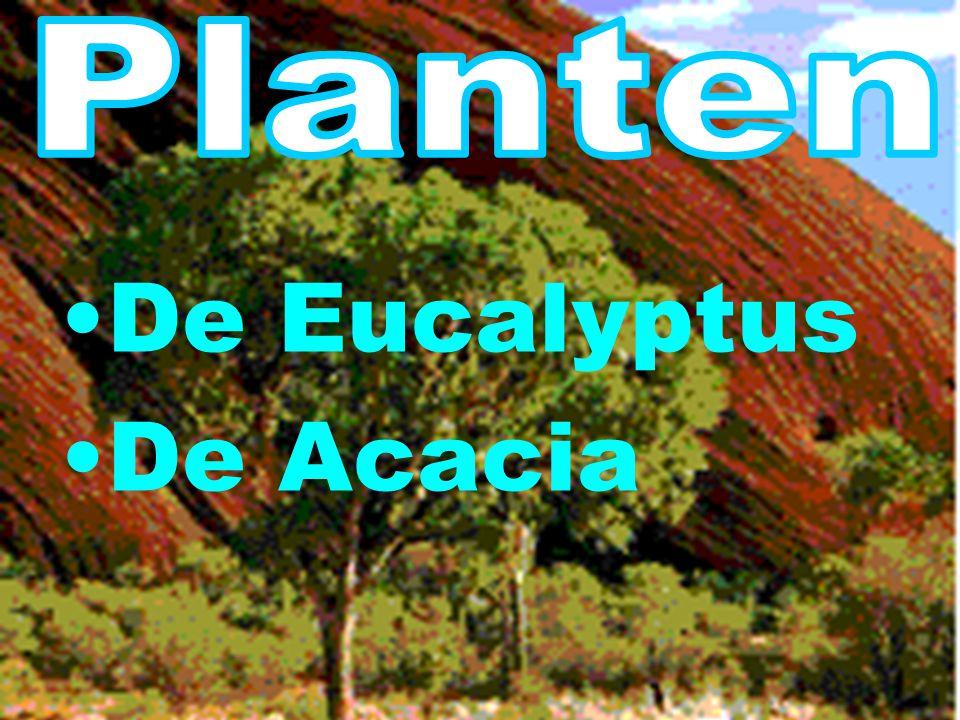 Planten De Eucalyptus De Acacia