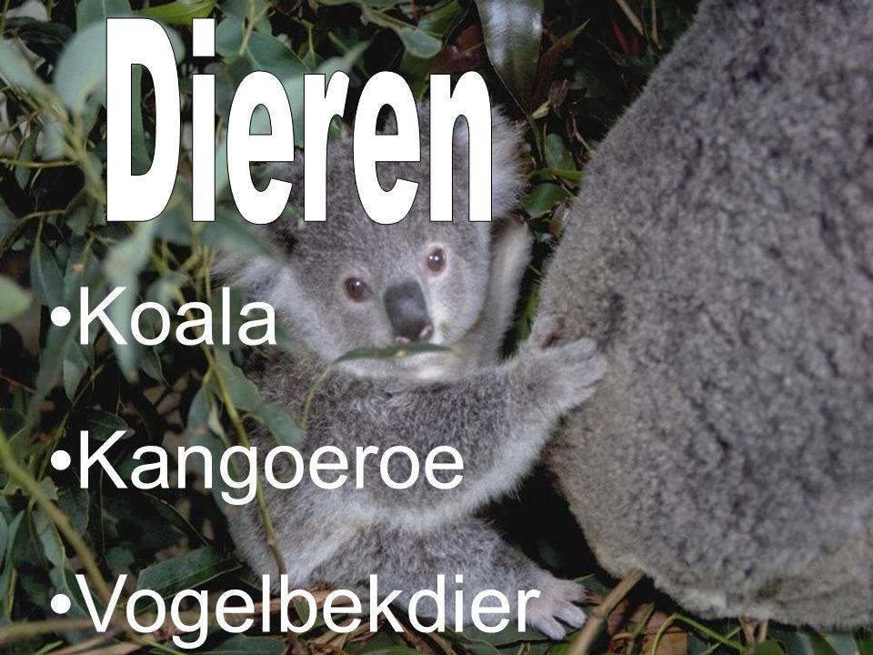 Dieren Koala Kangoeroe Vogelbekdier