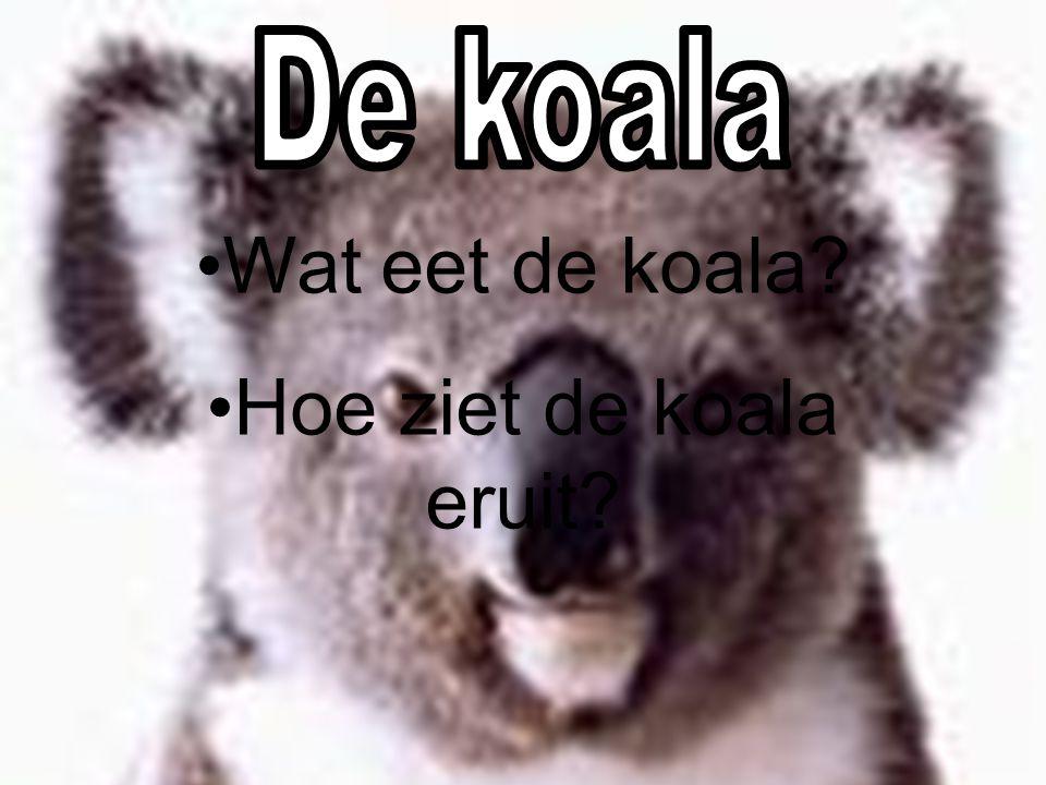 De koala Wat eet de koala Hoe ziet de koala eruit