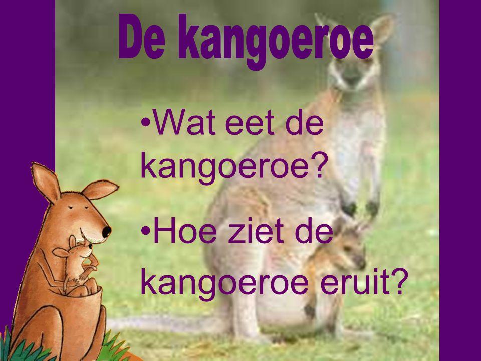 Hoe ziet de kangoeroe eruit