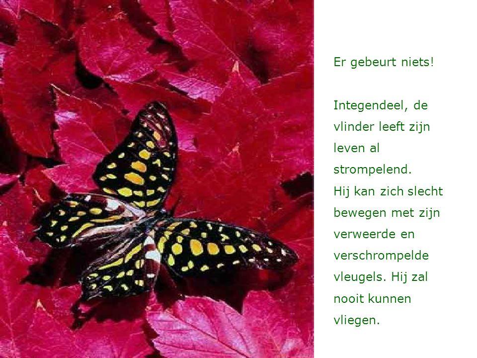 Er gebeurt niets! Integendeel, de vlinder leeft zijn leven al strompelend.