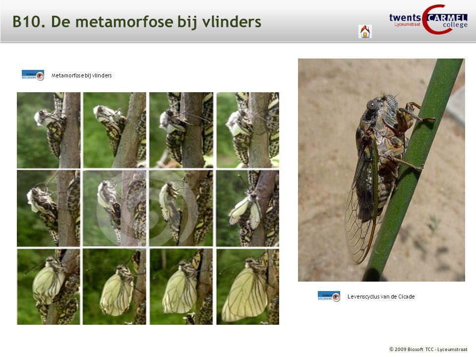 B10. De metamorfose bij vlinders