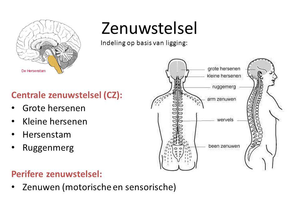 Zenuwstelsel Centrale zenuwstelsel (CZ): Grote hersenen