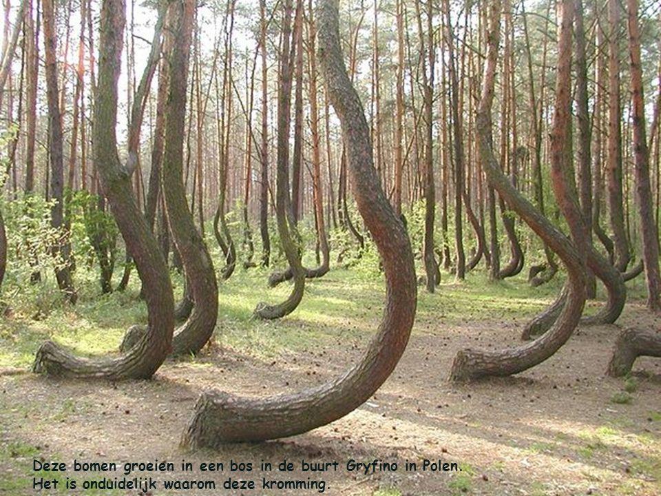 Deze bomen groeien in een bos in de buurt Gryfino in Polen