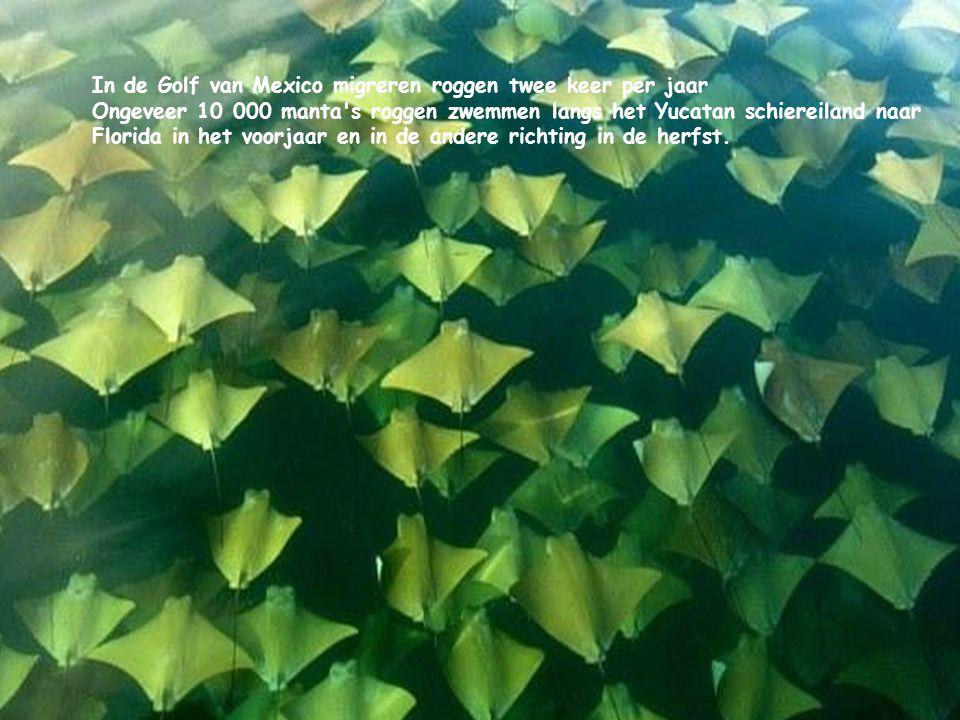 In de Golf van Mexico migreren roggen twee keer per jaar Ongeveer 10 000 manta s roggen zwemmen langs het Yucatan schiereiland naar Florida in het voorjaar en in de andere richting in de herfst.