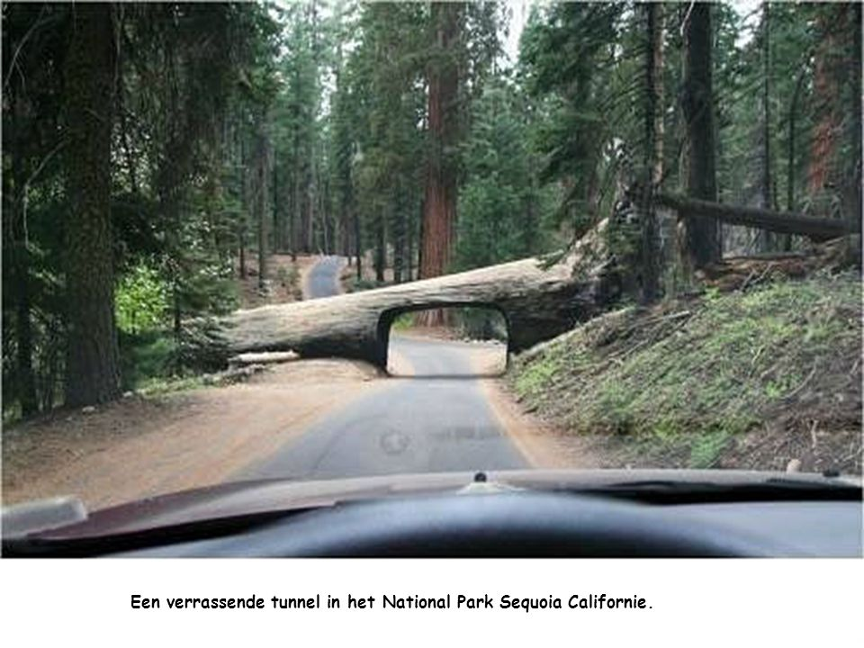 Een verrassende tunnel in het National Park Sequoia Californie.