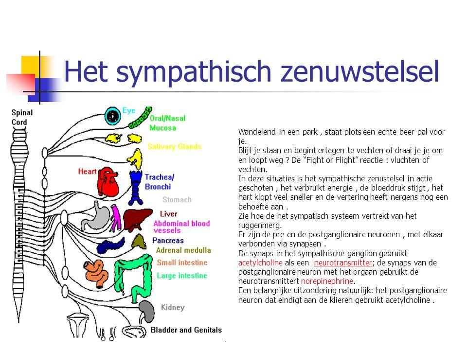 Het sympathisch zenuwstelsel
