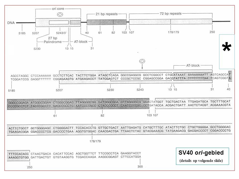 * SV40 ori-gebied (details op volgende slide)