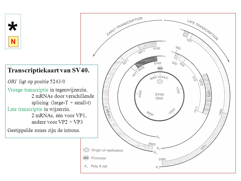 * N Transcriptiekaart van SV40. ORI ligt op positie 5243/0